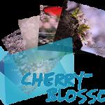 《Cherry blossoms》 Ranger's Photo Gallery